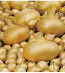 Cibule štutgartská žlutá - Allium cepa - osivo cibule - 250 ks