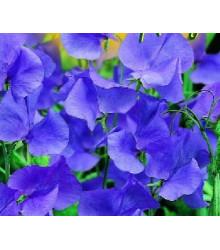 More about Hrachor pnoucí modrý - Lathyrus odoratus - semena hrachoru- 20 ks