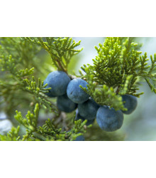 Jalovec - Juniperus excelsa - semena - 5 ks
