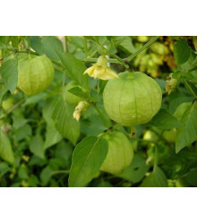 More about Tomatillo - Physalis ixocarpa - prodej semínek - 5 ks