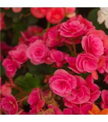 Drobnokvětá begonie růžová - Begonia multiflora maxima - cibule begónií - 2 ks