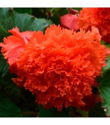 Begonie oranžová třepenitá - Begonia fimbriata - cibule begónií - 2 ks