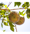 Oslizák líbezný - Aegle marmelos - prodej semen - 3 ks