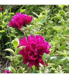 Pivoňka Karl Rosenfield - Paeonia lactiflora - cibule pivoněk - 1 ks