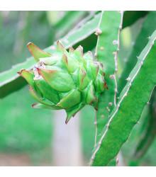 More about Pithaya - Dračí ovoce - Hylocereus undatus - Pitaya - osivo pitaji - 4 ks