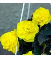 Begónie žlutá - cibule Begónie Pendula - 2 ks