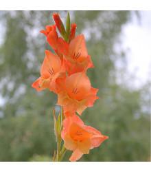 Mečík Ovatie - Gladiolus - cibule mečíků - 3 ks