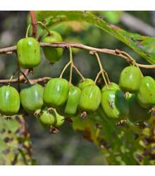 More about Minikiwi - Actinidia arguta - osivo minikiwi - 5 ks