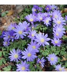 Sasanka vábná Blue Shades - Anemone blanda - cibule sasanek - 3 ks