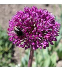 Česnek okrasný - Allium aflatunense - cibule česneku - 3 Ks