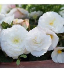 Begonie bílá třepenitá - Begonia fimbriata - cibule begónie - 2 ks