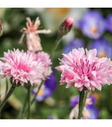 Chrpa luční růžová - Centaurea cyanus - osivo chrpy - 65 ks