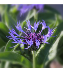 Chrpa luční modrá - Centaurea jaceae - osivo chrpy - 200 ks