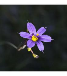 Badil úzkolistý - Sisyrinchium angustifolium - osivo badilu - 10 ks