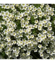Úrazník šídlovitý - Sagina subulata - prodej semen do skalky - 0,01 gr
