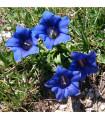 Hořec bezlodyžný - prodej semen hořce - rostlina Gentiana acaulis - 8 ks