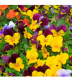 Violka rohatá - Viola cornuta - osivo trvalek - 70 ks