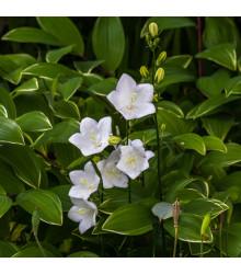 Zvonek karpatský bílý - Campanula carpatica - osivo zvonku - 400 ks