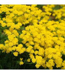 More about Tařice skalní Gold dust - Alyssum saxatile - osivo tařice - 150 ks