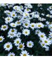 Kopretina bílá Hvězda z Antwerp - Chrysanthemum leucanthemum max.- prodej semen - 0,4 gr