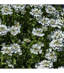 More about Huseník bílý - Arabis alpina- osivo huseníku - 200 ks