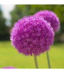 Česnek obrovský Giganteum - Allium Giganteum - cibule česneku - 1 ks