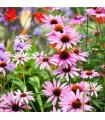 Třapatkovka bledá - rostlina Echinacea pallida - prodej semen - 1 gr