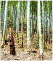 Bambus Balcooa- semena- 4 ks
