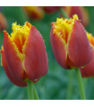 Tulipán Lambada - prodej holandských tulipánů - 4 ks