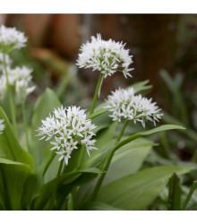 Česnek medvědí - Allium ursinum - cibule česneku - 3 ks