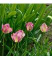 Tulipán Groenland - prodej tulipánů - cibuloviny - 4 ks
