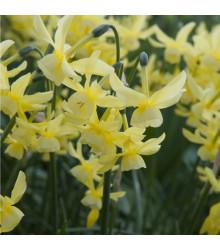 Narcis Hawera - Narcissus - cibule narcisů - 3 ks