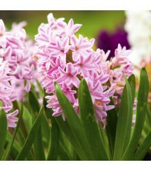 More about Hyacint Fondant - Hyacinthus - cibule hyacintů - 1 ks