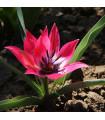 Tulipán - Little Beauty - prodej holandských tulipánů - 4 ks