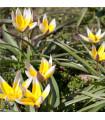 Tulipán Tarda - prodej podzimních cibulovin - holandské tulipány - 3 ks