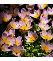 More about Tulipán skalní Bakerii Lilac Wonder - Tulipa saxatilis - cibule tulipánů - 3 ks