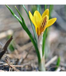 Krokus zlatý Fuscotinctus - Crocus Fuscontinctus - cibule krokusů - 3 ks