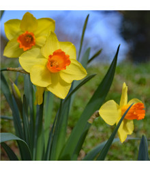 Narcis Jetfire - Narcissus - cibule narcisů - 3 ks