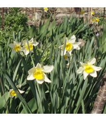 Narcis Topolino - Narcissus - cibule narcisů - 3 ks