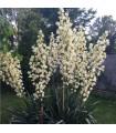 Juka glauca - mrazuvzdorná juka - semena juky - yucca glauca - semena - 5 ks