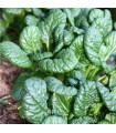 Hořčice salátová Misome F1 -brassica campestris - prodej semen - 20 ks