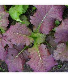 Hořčice červená Red Frills - Brassica juncea - osivo hořčice - 300 ks