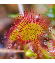 Rosnatka okrouhlolistá - Drosera rotundifolia - semena - 10 ks