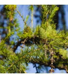 More about Modřín sibiřský - Larix sibirica - prodej semen - 10 ks