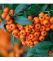 Hlohyně šarlatová - Pyracantha coccinea - prodej semen hlohyně - 5 ks