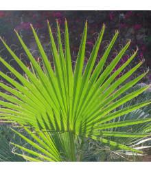Palma trpaslíčí - Sabal minor - osivo palmy - 3 ks