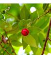 Jamajská třešeň - Muntingia calabura - prodej semen - 6 ks