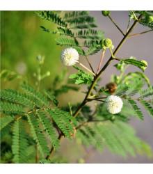 Leucaena leucocephala - Divoká mimóza - prodej semen - 7 ks