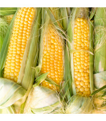 Kukuřice cukrová Golden Bantam - Zea Mays - osivo kukuřice - 16 ks