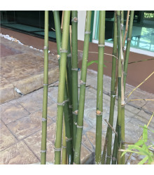 More about Bambus obrovský - semena bambusu - 2 ks